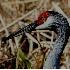 © Donald E. Chamberlain PhotoID# 1830423: Wet Sandhill Crane Head Close Up