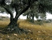 Green Olives 2