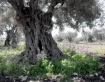 Byzantine Olives