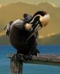 Brown Pelican - S...