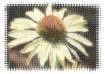 Cone flower weavi...