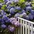 © Beth E. Higgins PhotoID# 1902516: Cape Cod Blue Hydrangeas  NA  210