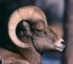 """""""Bighorn Ram&..."""