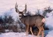 """""""Mule Deer..."""