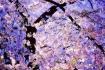 DC Cherry Blossom...