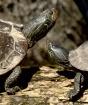 Turtles Basking-1...