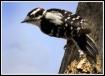 Downey Woodpecker...