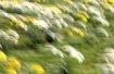 The Daffodil Swin...