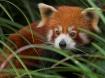 Hiding Red Panda
