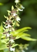 Everglades Orchid