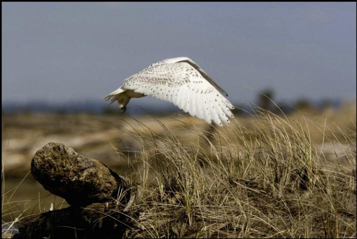 snowy owl take off 2 - ID: 2101421 © Stuart May