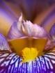 Sensual Iris