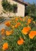 Poppies at Carmel...