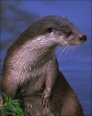 European Otter (m...