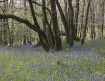 Bluebell Wood in ...