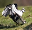 Mating Lapwings