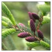 Evergreen Buds