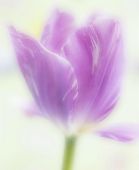 Dreamy Tulip
