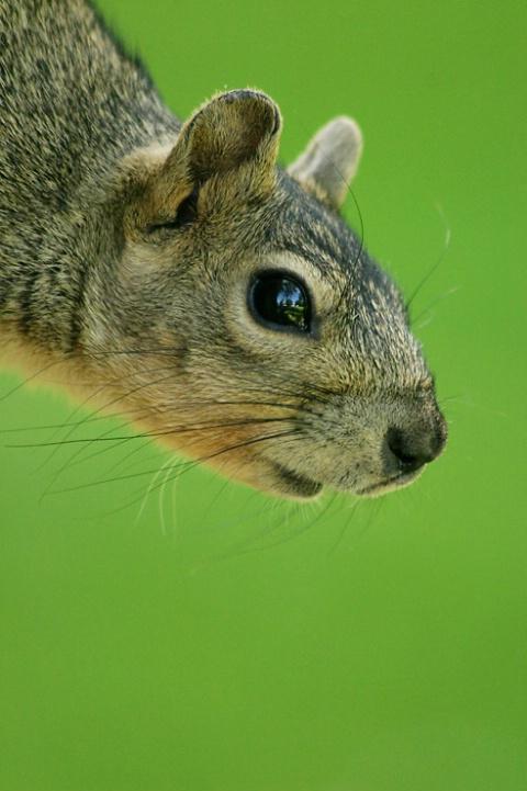 Portriet of Squirrel