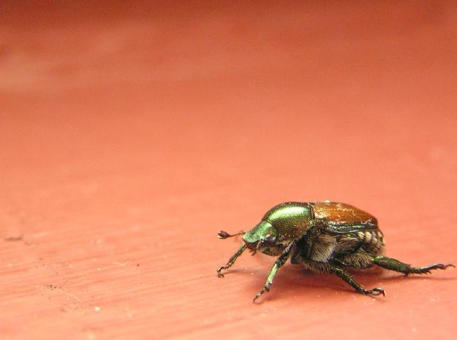 Disco Beetle