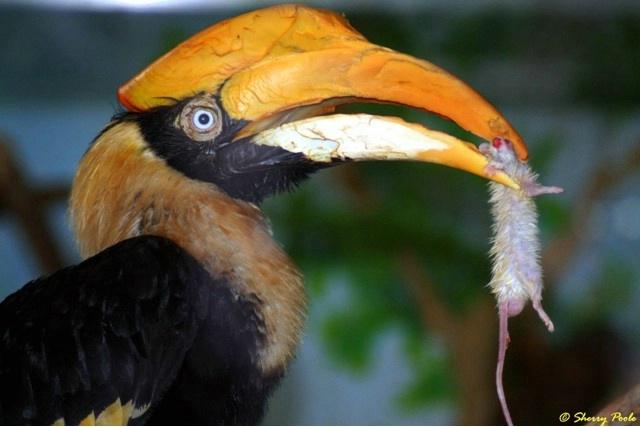 Omnivorous Great Hornbill