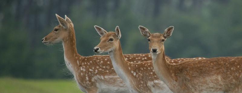 Wild Irish Deer
