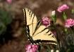 Yellow Wingspan