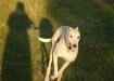 Greyhound - Speed...