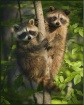 little racoons