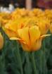 Flaming Yellow Tu...