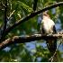 © Robert Hambley PhotoID # 2263261: Black Billed Cuckoo