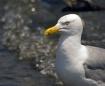 focused seagull