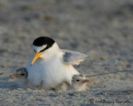 2 Day  Old Tern Chicks