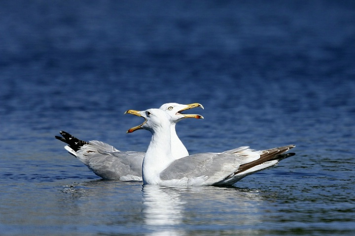 The song of gulls