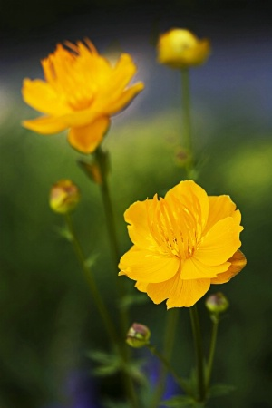 Ledebourn Globeflower