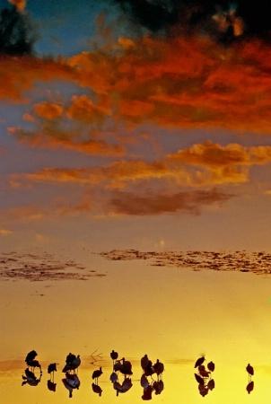 Spoonbills At Sundown