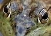 Frog Eyes