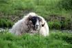Kinderdyke sheep