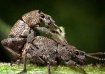 Weevil Action