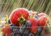 Berries in the ra...