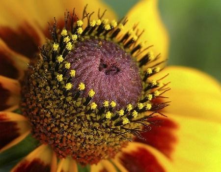 Nature's Pincushion