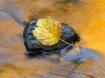 Leaf in stream