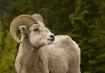 Big Horn Sheep, P...