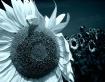 Sun flowers II
