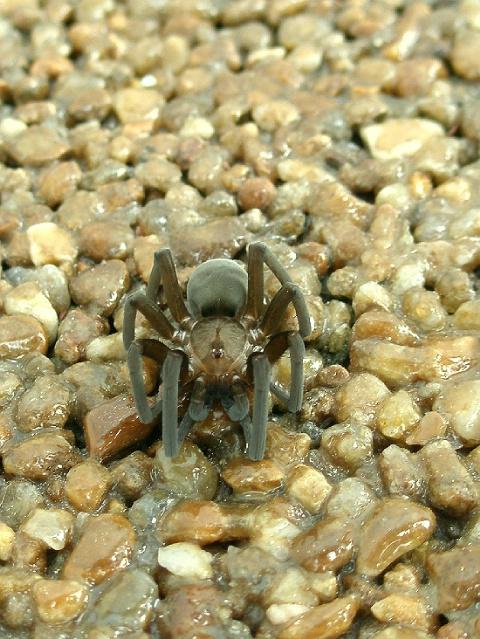 ~ Araneae ~