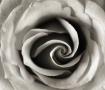 Rose curves (B&W)