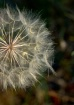 Golden Wishie