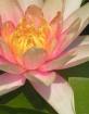 Waterlily Macro