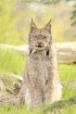 Canadian Lynx (Ly...