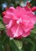 Pink Cayman Beaut...
